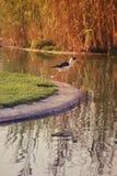 Um pássaro na costa do lago em que a grama é refletida na água Imagem de Stock Royalty Free