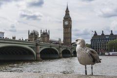 Um pássaro na frente de Big Ben imagem de stock royalty free