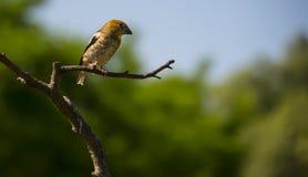 Um pássaro pequeno está no ramo Fotografia de Stock Royalty Free