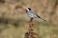 Um pássaro pequeno muito motivado Foto de Stock Royalty Free