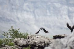 Um pássaro que começa voar no vale 'de Cola de Caballo ', Aragon, Espanha imagens de stock