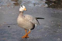 Um pássaro que está no gelo graciosamente Imagens de Stock