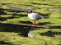 Um pássaro que senta-se em uma prancha de madeira na água Imagens de Stock