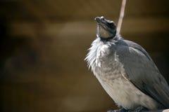 Um pássaro ruidoso do frade no ramo imagem de stock royalty free