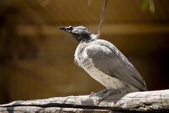 Um pássaro ruidoso do frade no ramo fotografia de stock