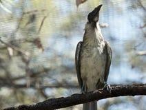Um pássaro ruidoso do frade no ramo fotografia de stock royalty free