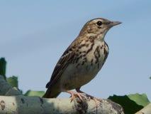 Um pássaro um pardal no selvagem Fotos de Stock