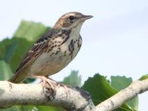Um pássaro um pardal no selvagem Imagens de Stock