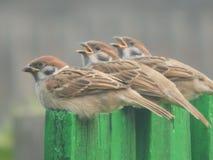 Um pássaro um pardal no selvagem Foto de Stock Royalty Free