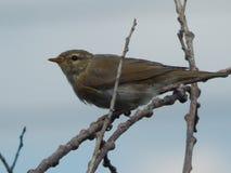 Um pássaro um pardal no selvagem Fotografia de Stock Royalty Free
