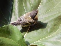 Um pássaro um pardal no selvagem Fotos de Stock Royalty Free