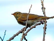 Um pássaro um pardal no selvagem Imagens de Stock Royalty Free