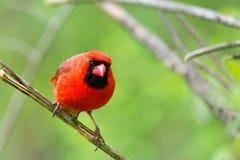 Um pássaro vermelho brilhante empoleirou-se com fundo verde Fotos de Stock Royalty Free