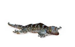 Um pântano pequeno do geco fora de suas peles para as peles novas foto de stock