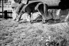 Um pônei está pastando na grama Fotos de Stock Royalty Free