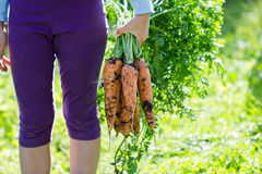 Um pacote de cenouras frescas à disposição, close up Foto de Stock