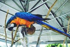 Um papagaio Foto de Stock