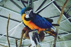 Um papagaio Imagens de Stock Royalty Free