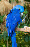 Um papagaio azul Fotografia de Stock