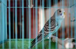Um papagaio bonito na gaiola Fotos de Stock Royalty Free