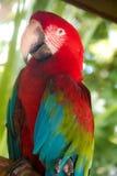 Um papagaio colorido Foto de Stock