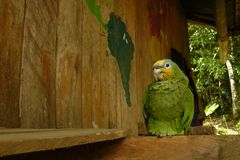 Um papagaio dirigido amarelo empoleirado para baixo em uma casa de madeira na selva ao lado de um mapa do mundo fotos de stock