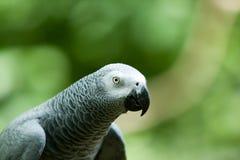 Um papagaio do cinza africano Imagens de Stock