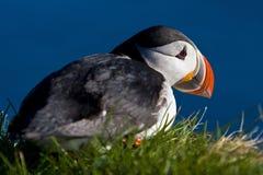 Um papagaio-do-mar atlântico (arctica do Fratercula) Imagem de Stock Royalty Free