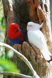 Um papagaio dos pares Imagem de Stock