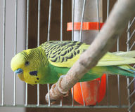 Um papagaio está em uma gaiola Foto de Stock Royalty Free