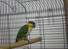 Um papagaio verde-amarelo está sentando-se em uma vara imagem de stock royalty free