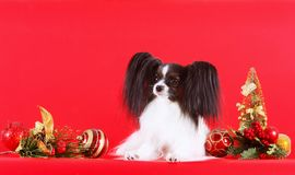 Um papillon branco bonito com orelhas pretas encontra-se com decorações do Natal Ano novo do cão foto de stock royalty free
