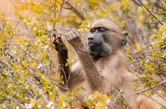 Um Papio Ursinus no parque nacional de Kruger, África do Sul do babuíno do cabo foto de stock royalty free