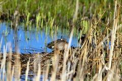 Um par acoplado de cerceta Azul-voada ducks restos no pântano na reserva natural nacional de Alamosa em Colorado do sul imagens de stock