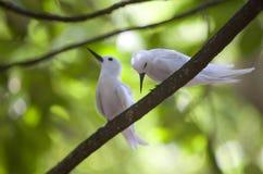 Um par andorinhas-do-mar feericamente na filial Imagens de Stock Royalty Free