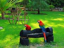 Um par arara vermelha de Brasil fotografia de stock