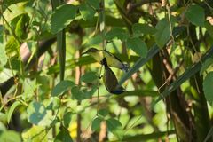 Um par bonito de amarelo-inchado & x28; azeitona-backed& x29; sunbirds, empoleirados em uma árvore tailandesa do parque do jardim Fotos de Stock