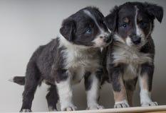 Um par cães de border collie com olhos azuis, irmãos adoráveis dos sheepdgos junto fotografia de stock