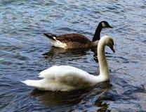 Um par cisnes França imagem de stock