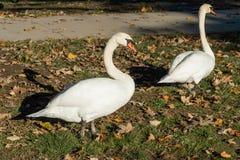 Um par cisnes mudas no parque do balboa do lago em Los Angeles, Califórnia imagem de stock royalty free