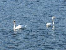 Um par das cisnes brancas Imagem de Stock Royalty Free