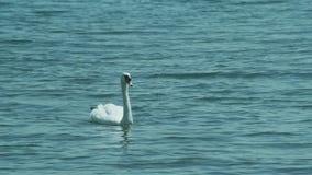 Um par das cisnes brancas nada na calma do lago Ohrid vídeos de arquivo