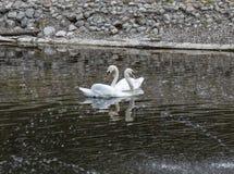 Um par das cisnes brancas que dançam na água surge foto de stock