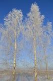 Um par de árvores cobertas com a geada Fotografia de Stock Royalty Free