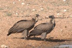 Um par de abutres Fotos de Stock