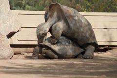 Um par de acoplamento das tartarugas de Galápagos Imagem de Stock