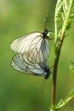 Um par de acoplamento de borboletas brancas preto-veadas Imagens de Stock
