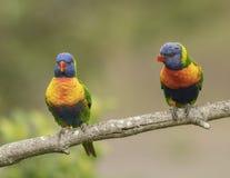 Um par de arco-íris Lorikeets em um ramo, Fotos de Stock Royalty Free