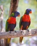 Um par de arco-íris Lorikeets em um ramo fotografia de stock