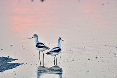 Um par de Avocets Fotografia de Stock Royalty Free